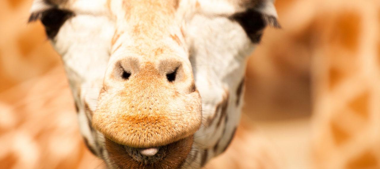 girafe-bisou